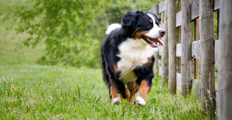 The Bernese Mountain Dog Club Of Ontario